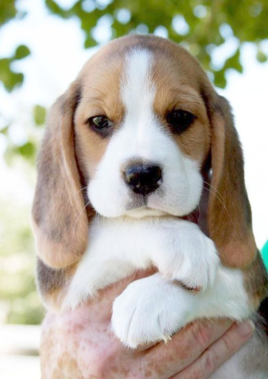 Excellent >> Kittens For Sale Near Me. Cute beagles