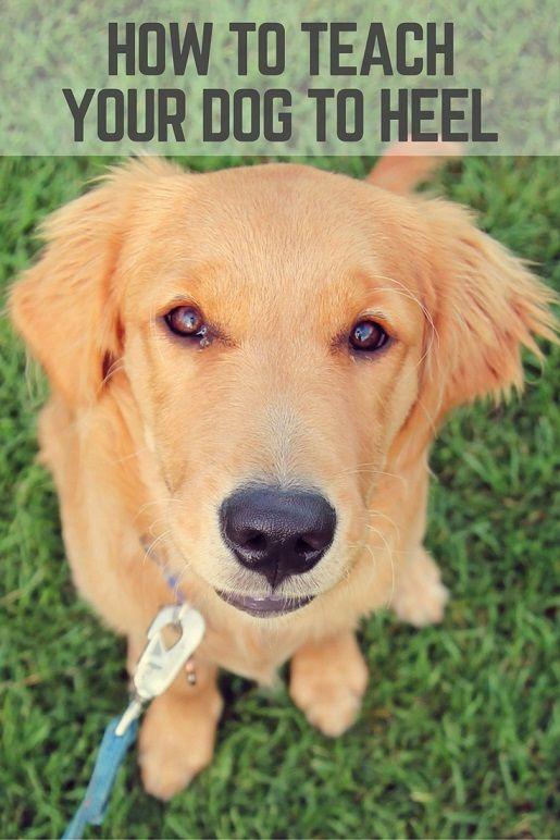 Teaching Your Dog To Heel 13 Tips Dog Training Dog Behavior