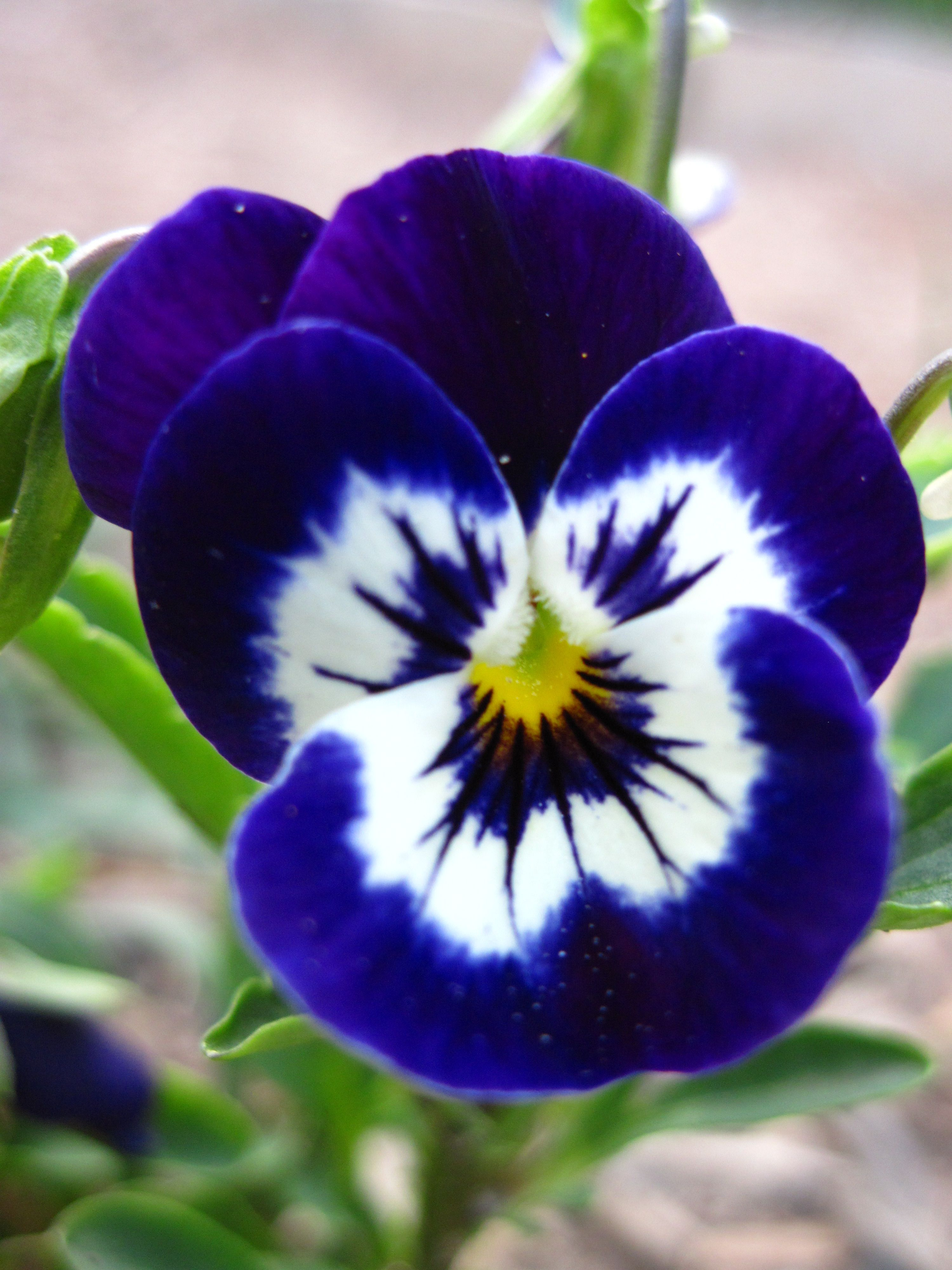 Pansy Pansies Flowers Pretty Flowers Beautiful Flowers