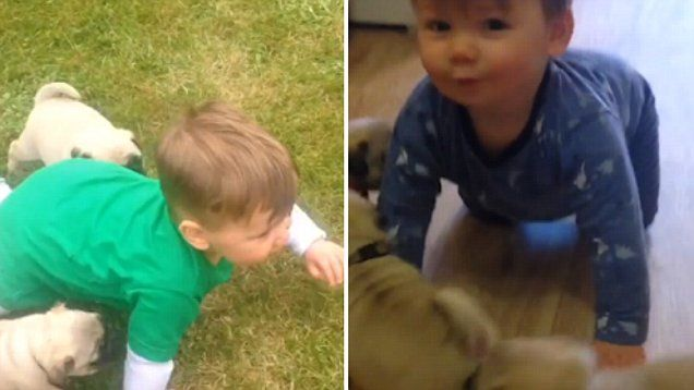 The Instagram video shows several adorable puppies and a baby laughing as the pugs give him plenty of kisses