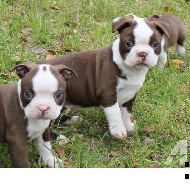 >>Find more information on teacup pugs for sale. Just