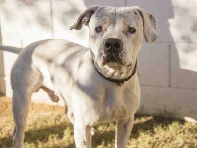 Arizona Humane Society Adopt Kringle This Holiday Dog Adoption