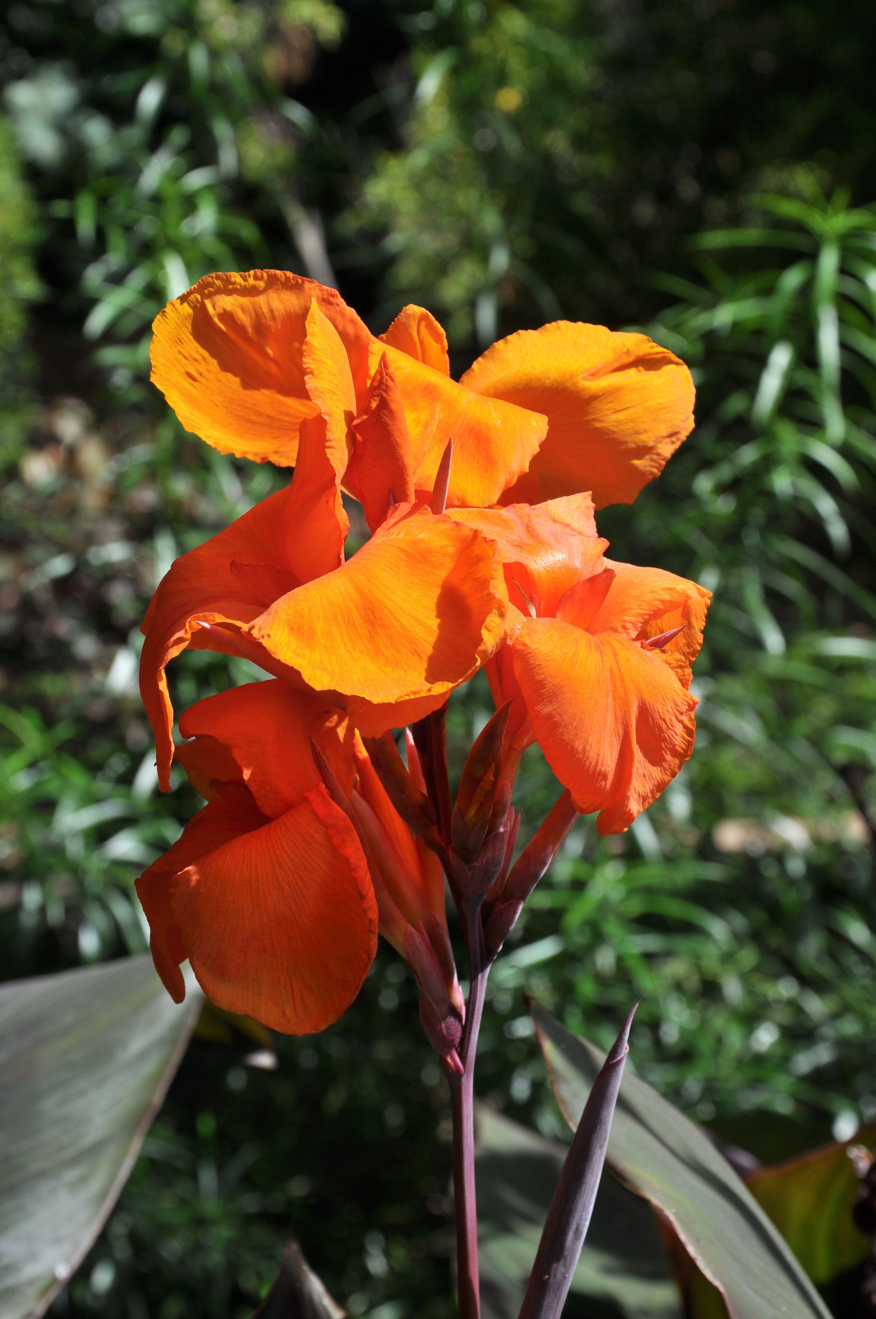 Fleur Orange Canna Indica Landscape Plants Pinterest