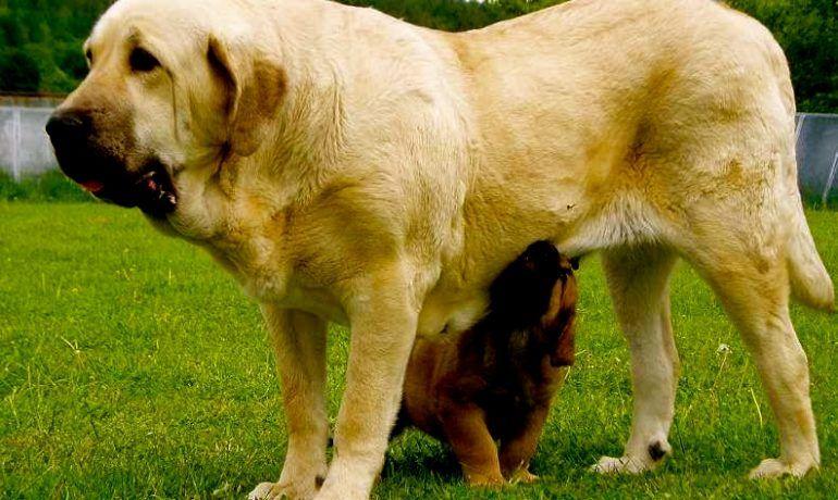 Te Lo Contamos Todo Sobre El Perro Mastin Espanol Descubrelo Mastin Espanol Perros Espanol