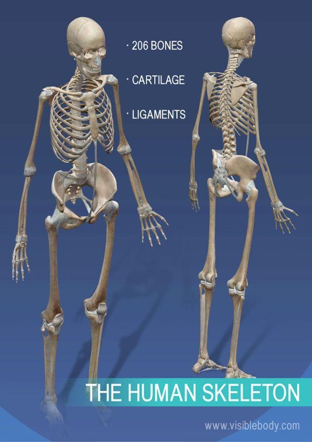 Full skeleton of the human body | Quiz | Pinterest