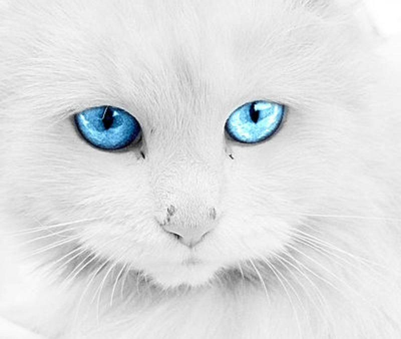 chats blanc yeux bleu - Google zoeken