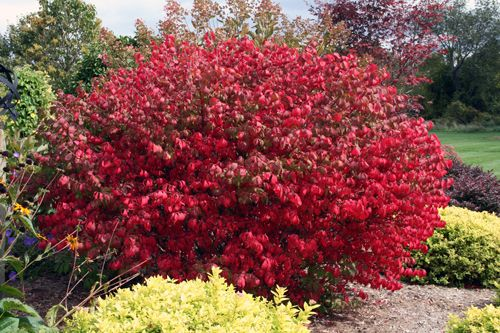 Bushes With Red Leaves Brilliant Red Fall Foliage Of