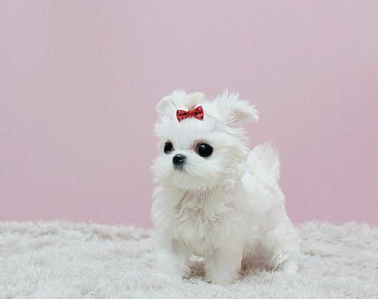 Teacup Maltese Puppies For Sale Micro Teacup Pedigree Maltese