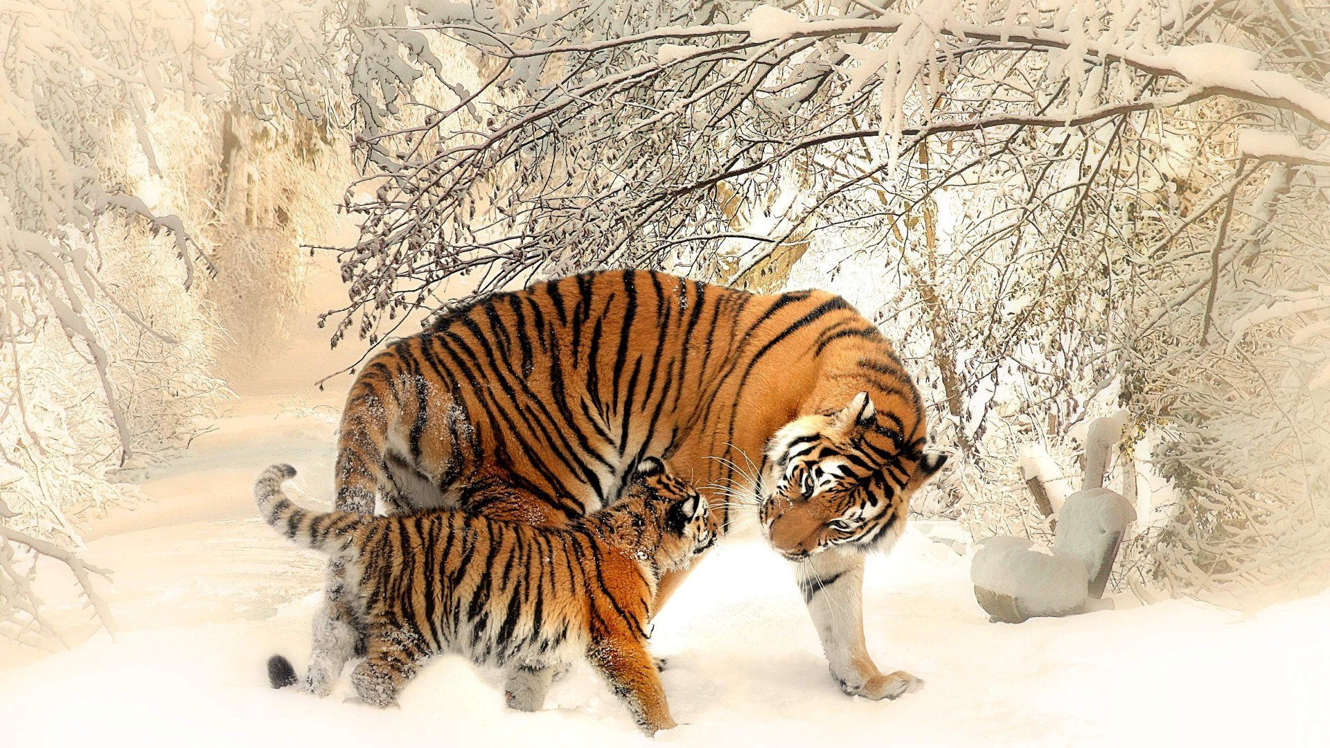siberian tiger snow wallpaper - 2018 wallpapers hd | pinterest