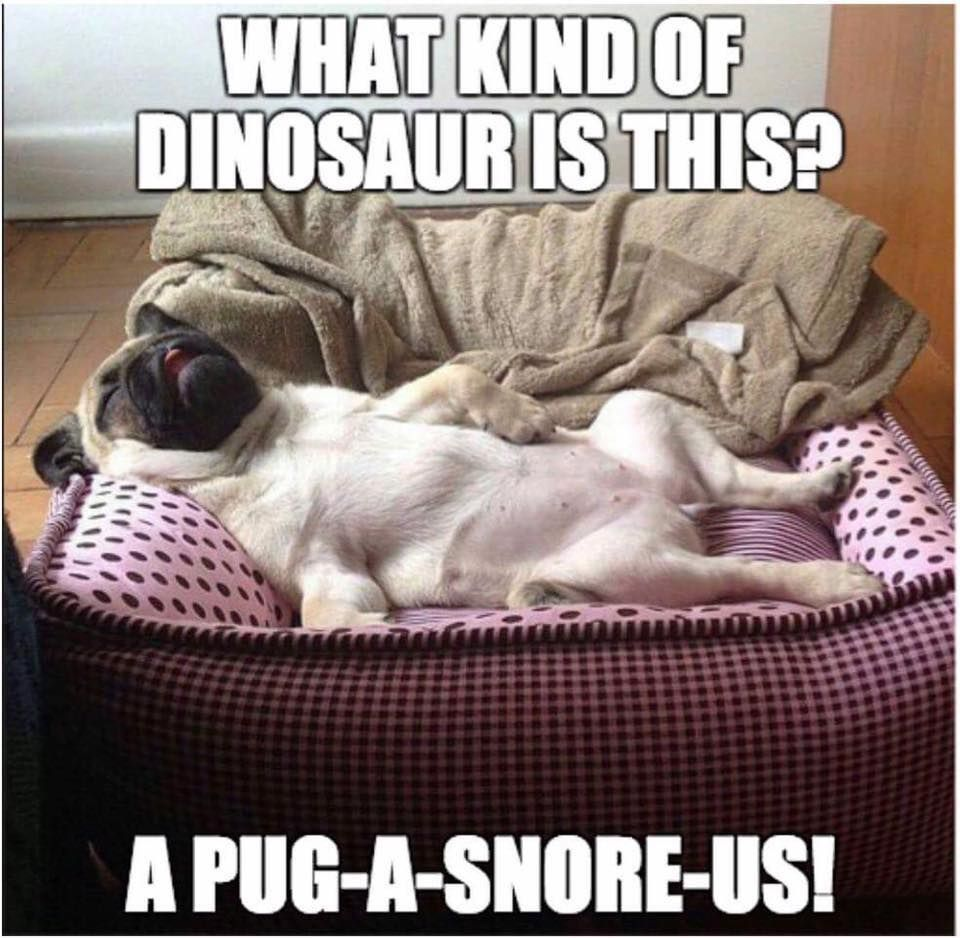 Pug A Snore Us Funny Animal Pictures Cute Pugs Funny Dogs