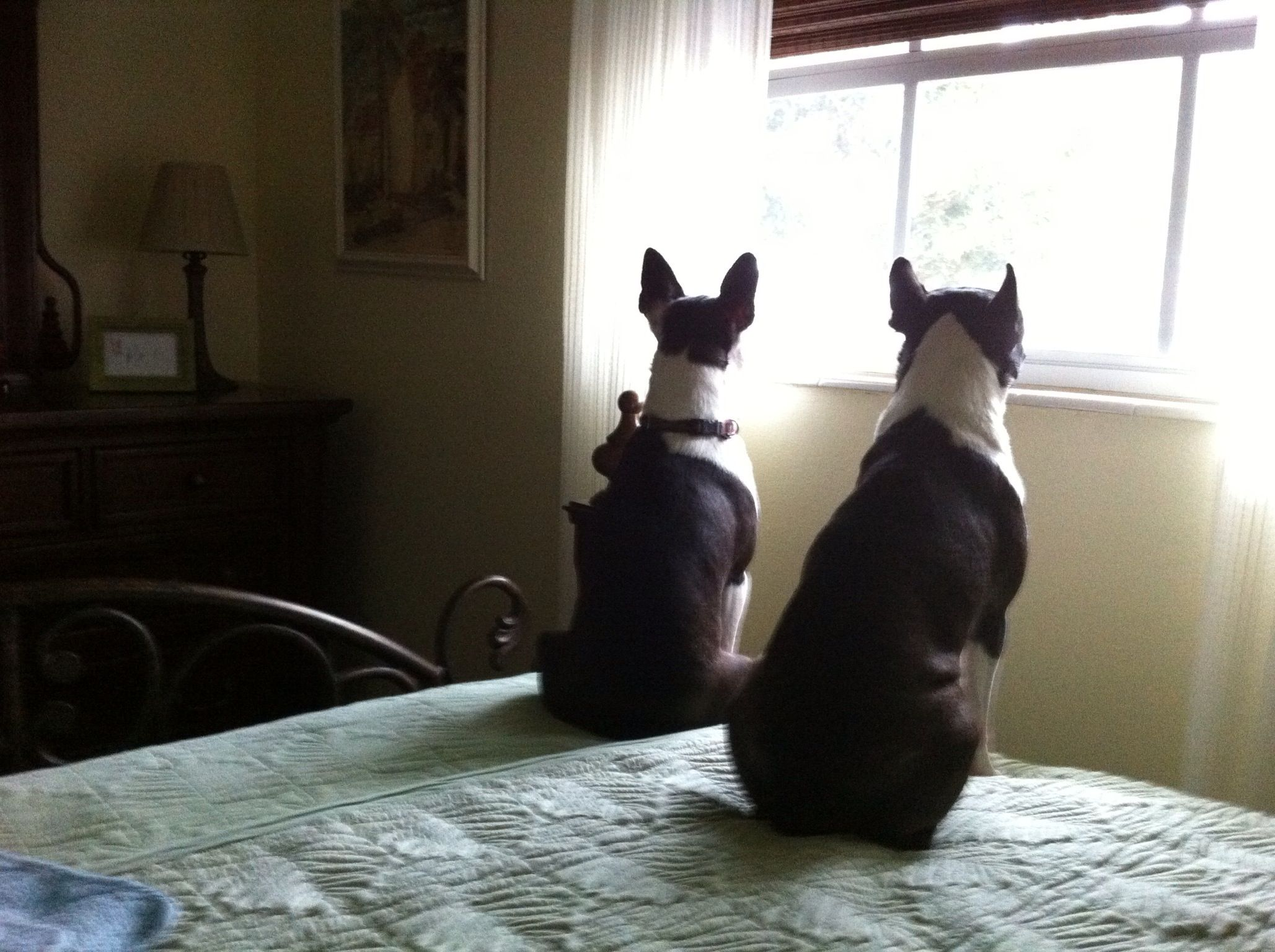 Boston terrier look out