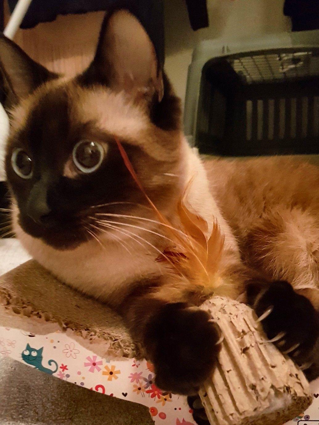 SiameseCat Cat care, Siamese cats, Siamese kittens