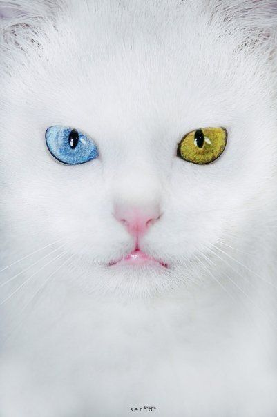 """The Van cat(Turkish:Van kedisi, """"cat of Van"""") is a distinctive landrace of domestic cat found mainly in the Lake Van region of eastern Turkey.   It is large, all-white, and frequently odd eyed.An odd-eyed cat is a cat with one blue eye and one eye of either green, yellow, or brown. This is a feline form of complete heterochromia,a condition that occurs in some other animals."""