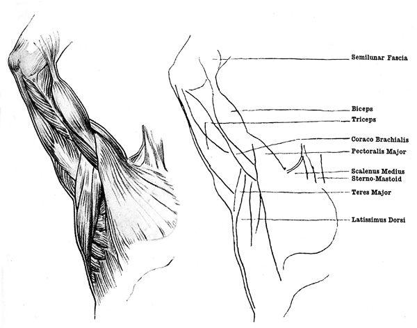 muscles-near-armpit.jpg (600×472) | Anatomy | Pinterest | Anatomy