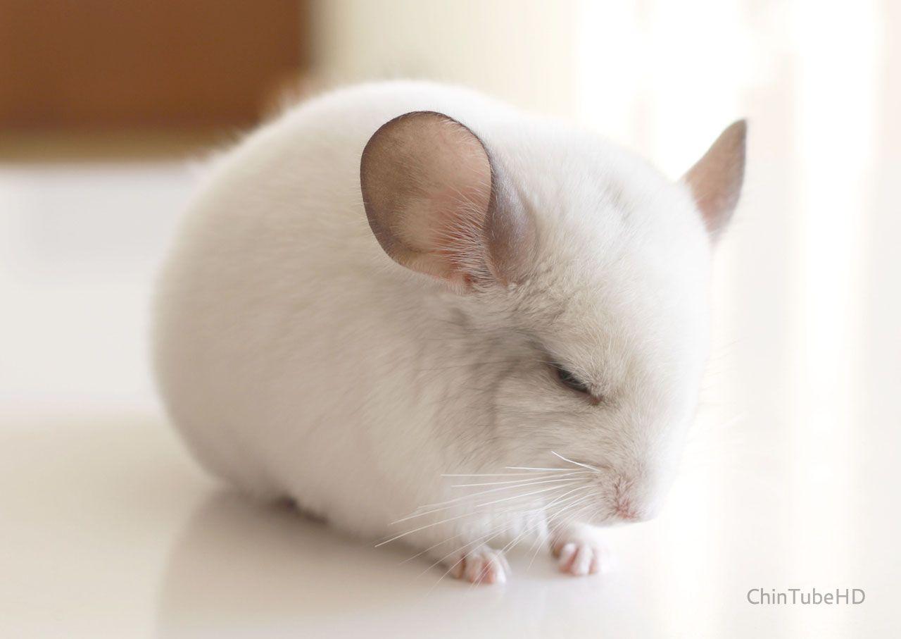 Cloud The Sleepy White Chinchilla Super Cute Animals Cute