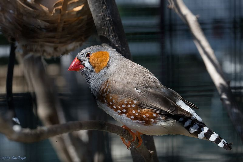 Zebra Finch at The Flower Fields