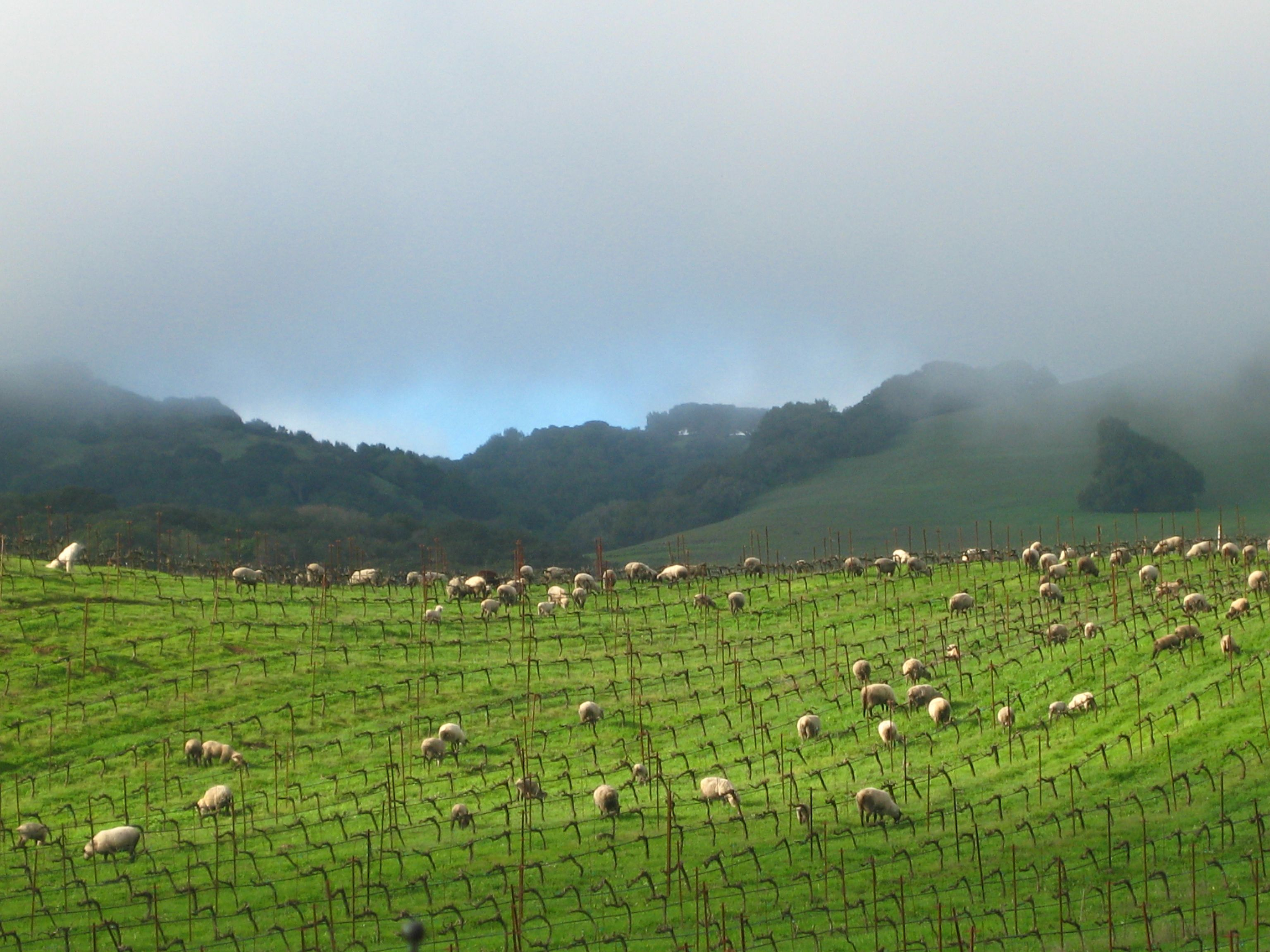 'Wooly weeders' keep grasses and weeds low in spring vineyards - a green alternative to gas powered mowers or chemicals.