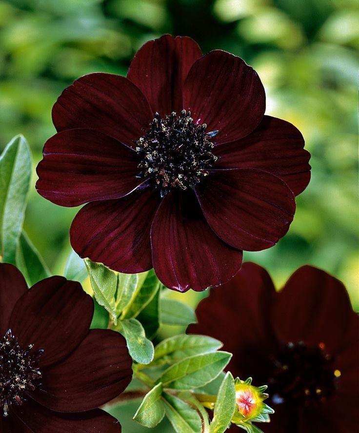Chocolate Cosmos Cosmos Flowers Black Flowers Chocolate Cosmos