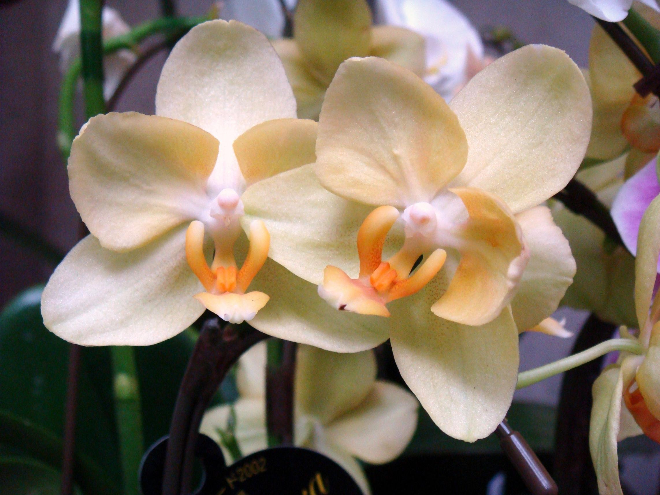 Phalaenopsis anthura gold phal anthura gold phalaenopsis