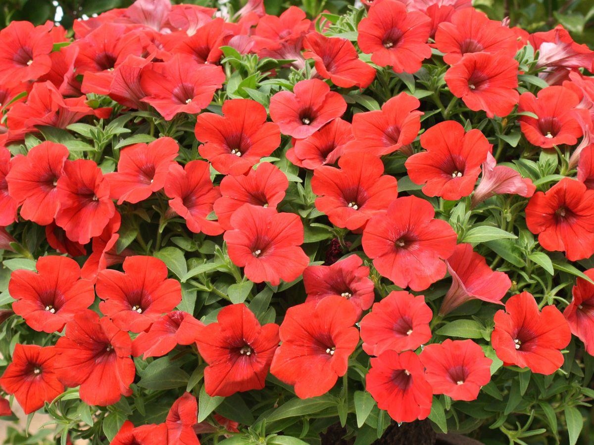 Petunia Surfinia Deep Red Gardening Petunias Surfinia