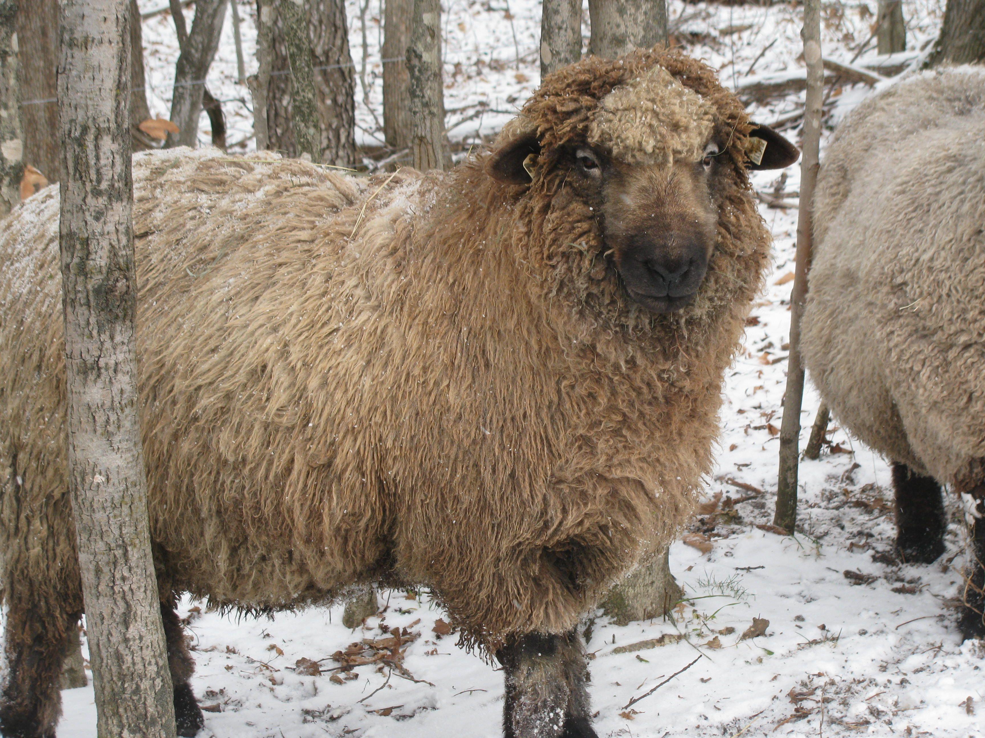Gandalf, our resident pure bred Romney ram. http//www