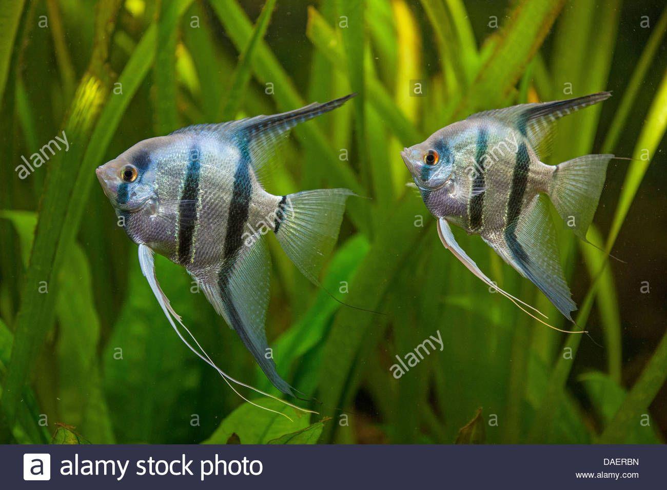 Tips 8 Angelfish Tank Mates To Accompany Your Angelfish Tag Angelfish Tank Mates Angelfish Tank Mates Aquarium Angelfis Angel Fish Fish Pet Glass Fish Tanks