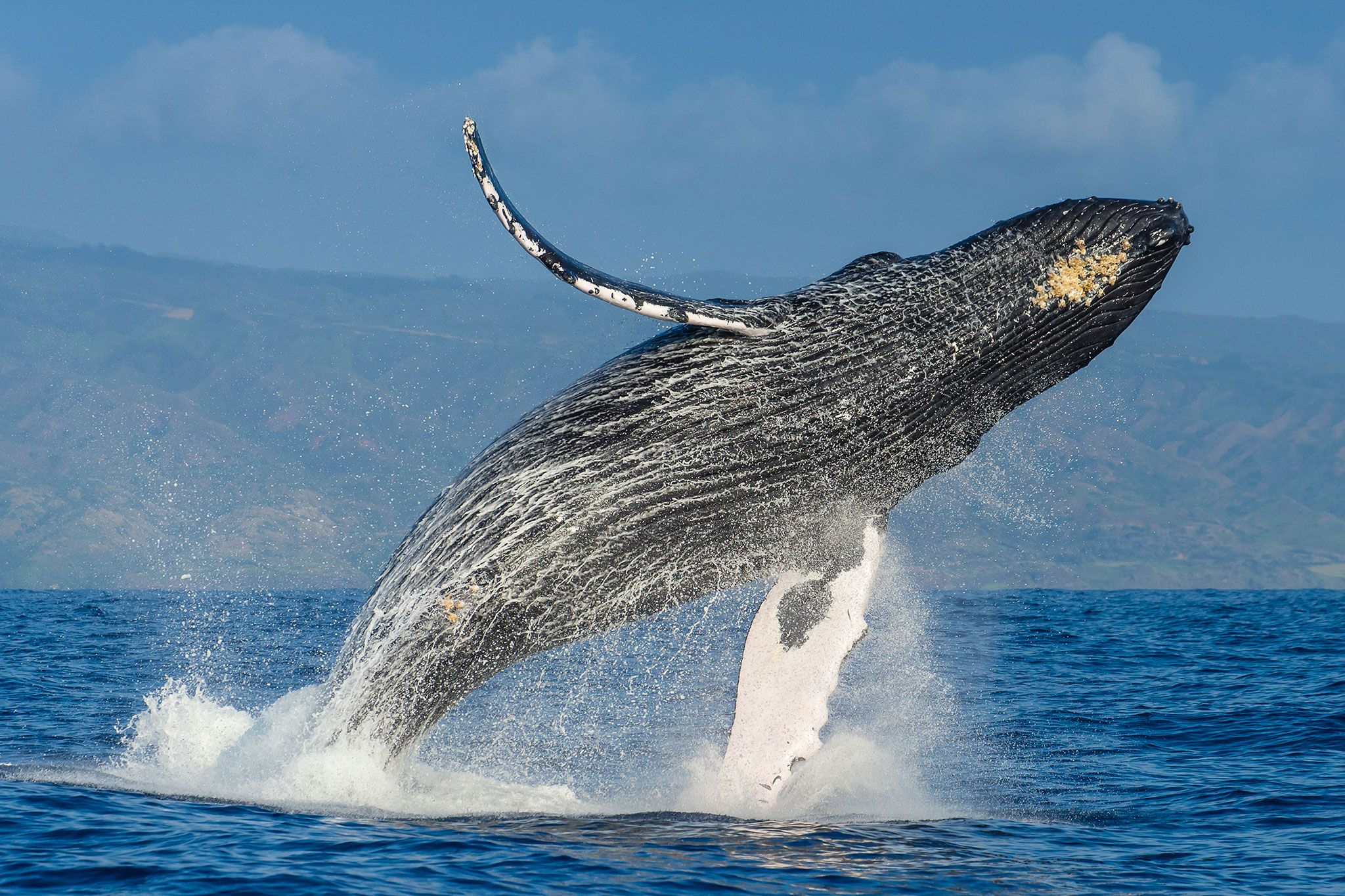 The Plan To Save The Humpback Whales And How It Succeeded Baleia