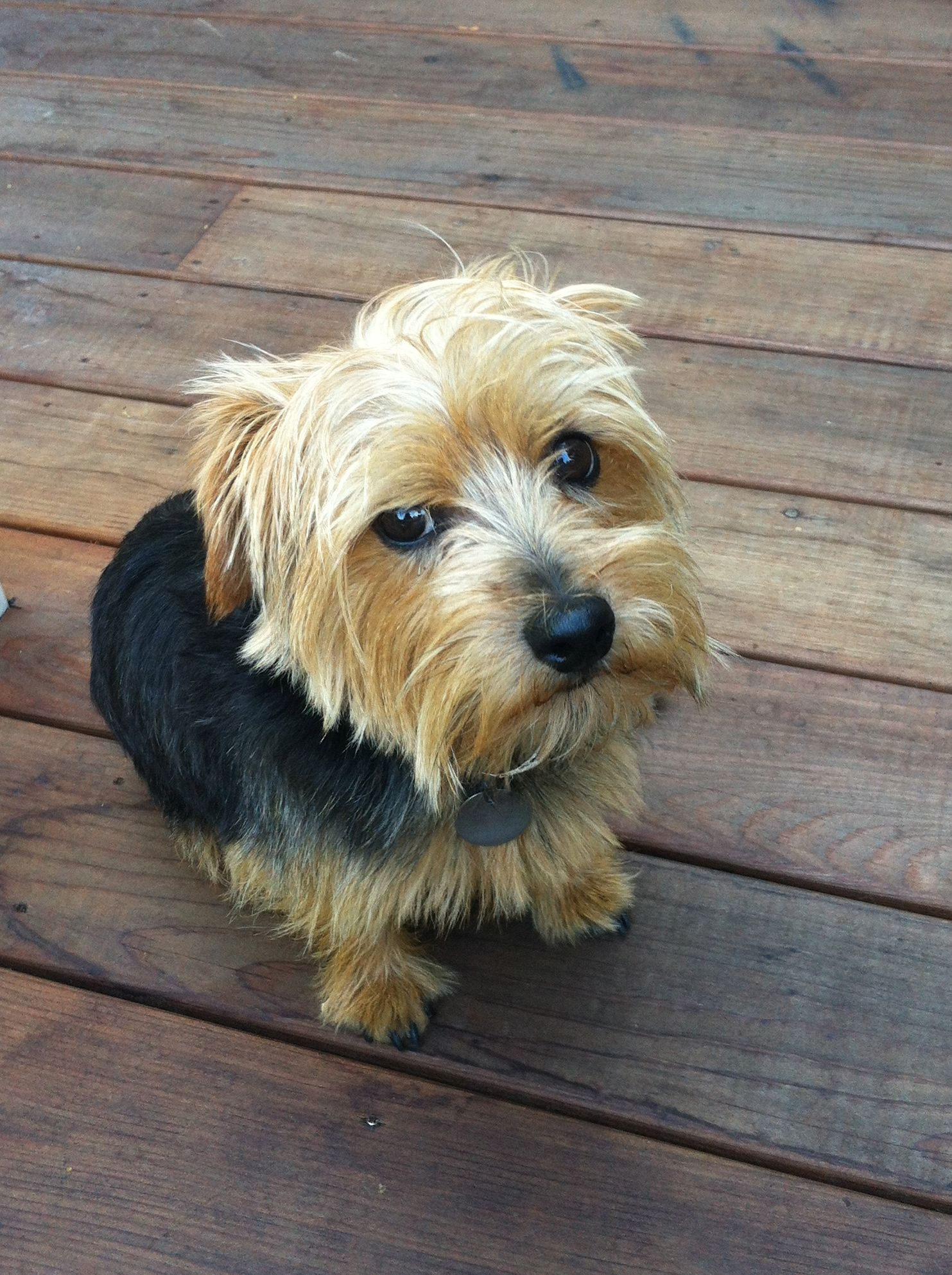 Henry the Norfolk Terrier. I think my terrier mix needs a little ...