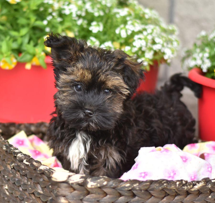 Havanese Puppies For Sale Lancaster Puppies Havanese Puppies