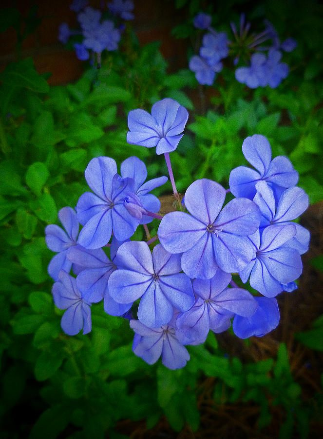✯ Blue Velvet