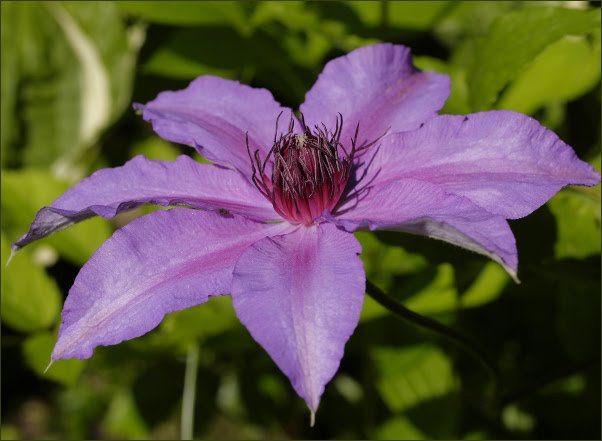 Natascha - Clematis vine plant   Clematis vine, Clematis ...