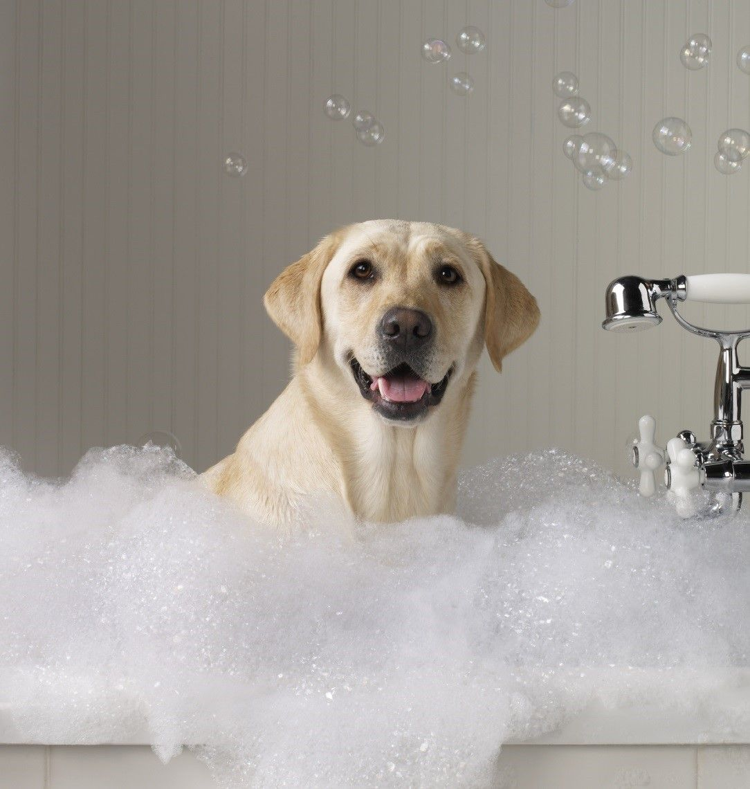 How To Groom A Dog Homemade Dog Shampoo Dog Shampoo Dogs