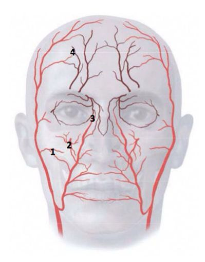 Facial arteries #fillers | FACIAL ANATOMY AND TRAINING | Pinterest ...