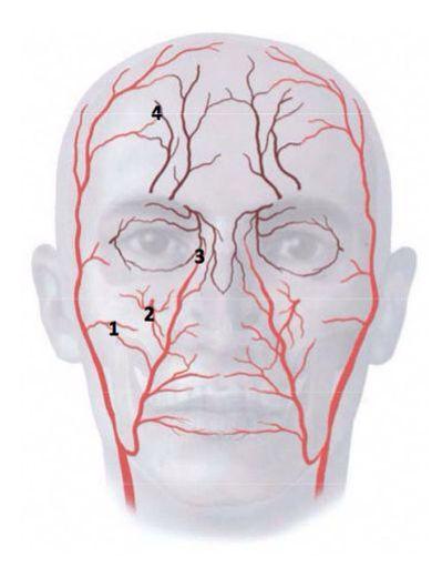 facial-arteries-picture