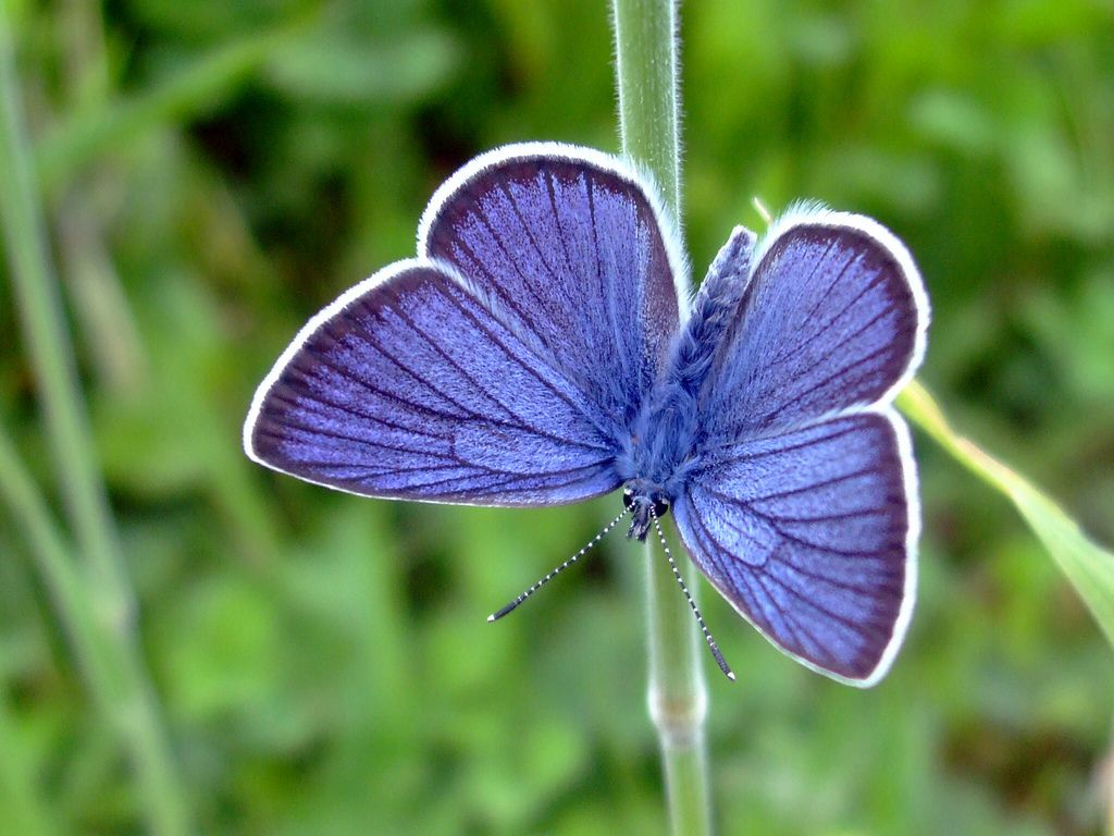 Image result for large blue butterfly