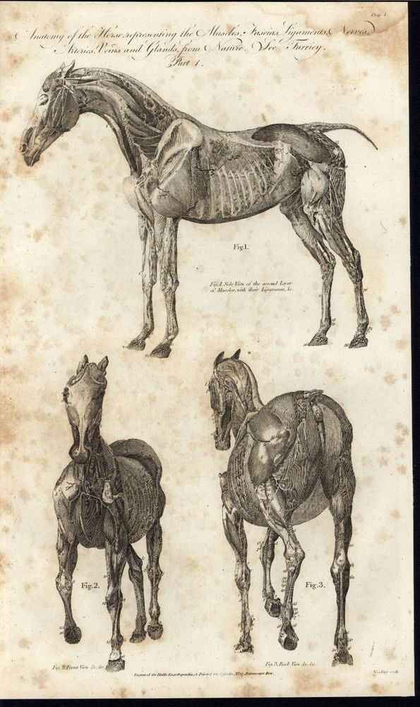 Horse Anatomy Fascias Ligaments Muscles Nerves 1790s nice large ...