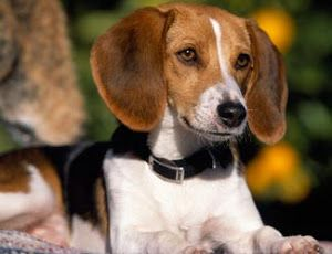 About Dog American Foxhound Is Your American Foxhound Potty
