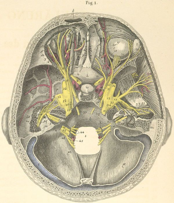 The Base Of The Skull Showing The Course Of The Cranial