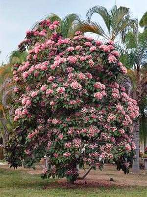 Starburst Clerodendrum Gardening Solutions University Of Florida Institute Of Food And Agric Ornamental Grass Landscape Grasses Landscaping Florida Plants