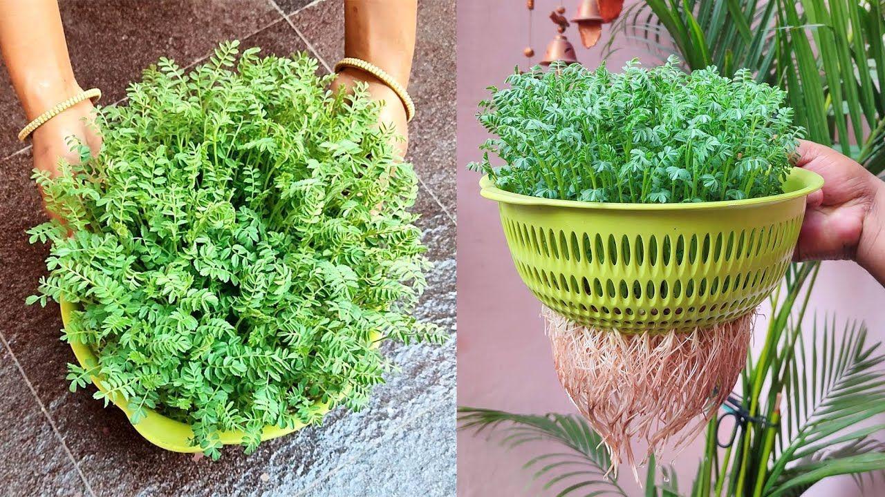 Grow Chickpea at home in water; Chana उगाने का सबसे आसान