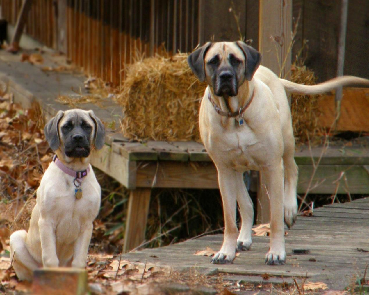 English Mastiff English Mastiff Dogs In The Farm Wallpaper