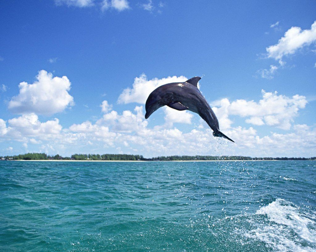 Dolphin Beautiful And Human Friendly Dolphin Fish Dolphins Animal Animals Dolphins
