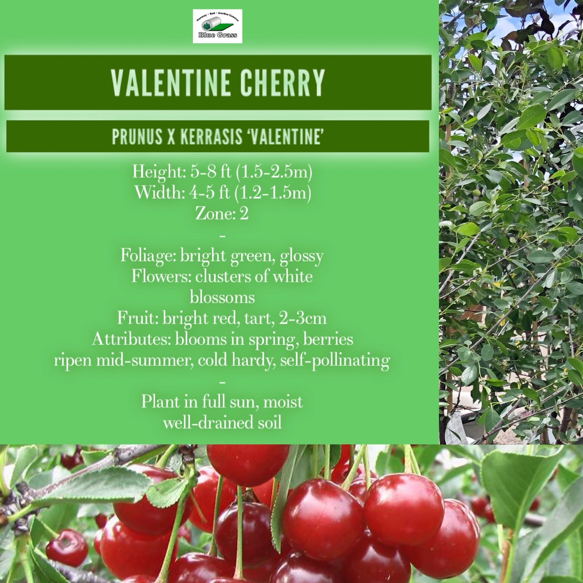 Pin By Bluegrasscgy On Grow With Blue Grass Valentines Cherries Prunus Bright Green