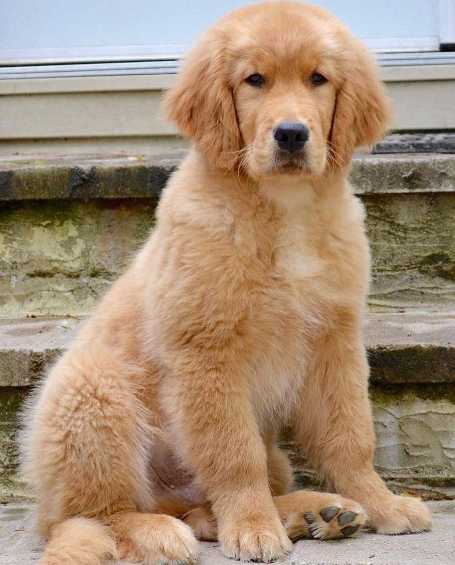Everything About The Friendly Golden Retriever Dog Personality