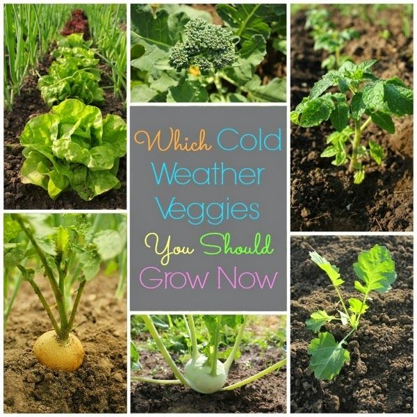 Cold Hardy Crops For The Fall Winter Vegetable Garden: Cold Weather Vegetable Growing #vegetable_gardening
