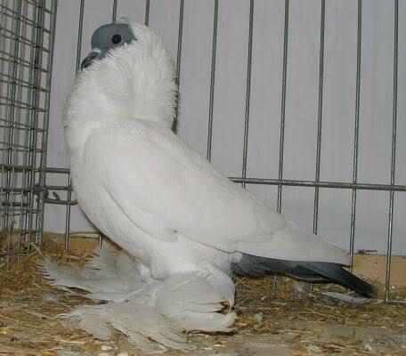 انواع حمام الزينة Pigeon Doves Bird