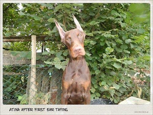 Atina Di Diwinum With Images Doberman Dogs Doberman Dogs
