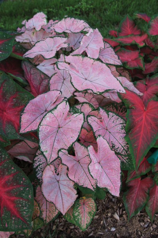 Brent And Becky S Bulbs Caladium Elephant Ear Bulbs Garden Insects