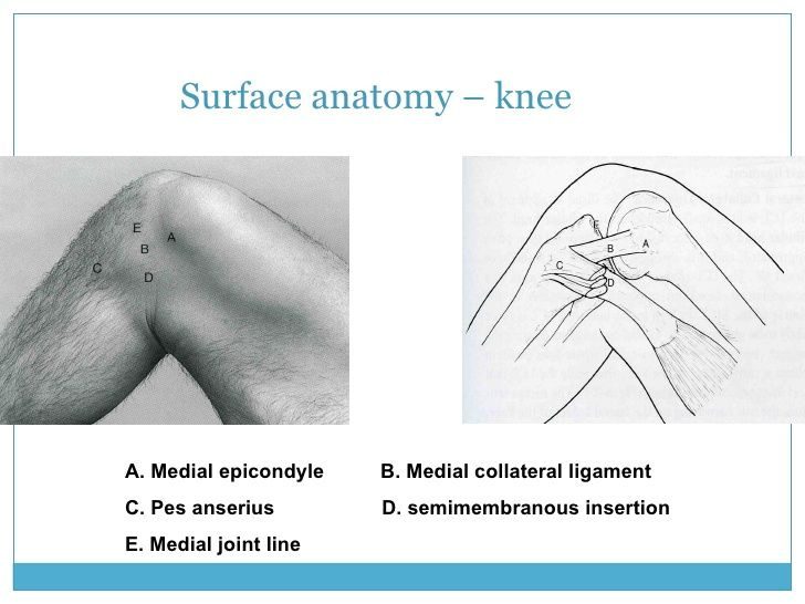 Surface Anatomy Knee A Medial Epicondyle B Medial Collateral