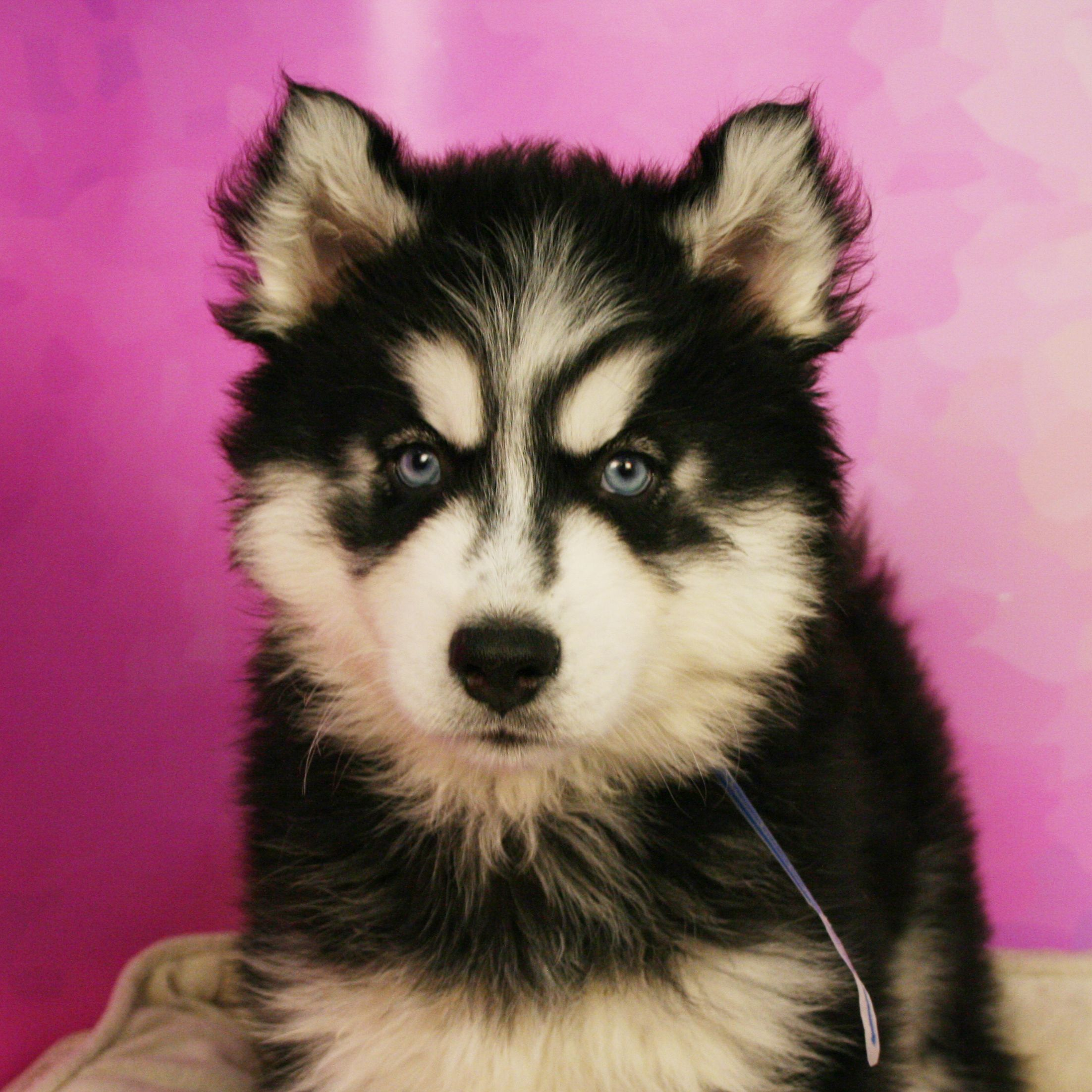 Fluffiness Extra Fluffy Animals Husky Puppies For Sale Puppies